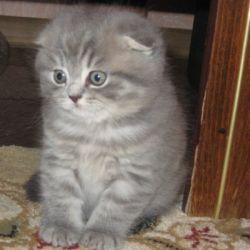 котята шотландской породы фото